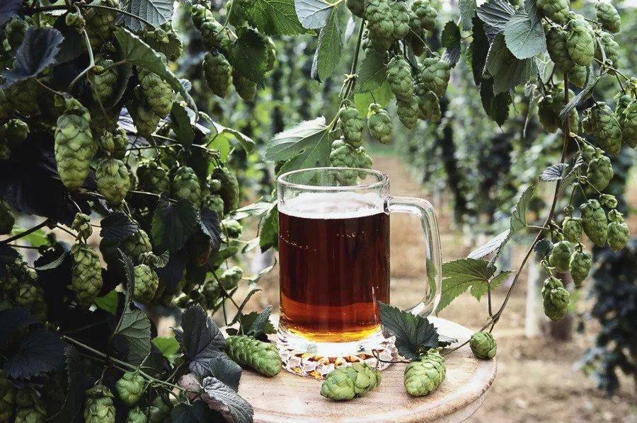 یک لیوان آبجو در مزرعه رازک